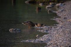 由湖岸的鸭子 免版税库存图片