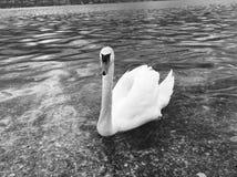 由湖海岸的天鹅游泳 图库摄影
