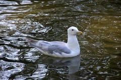 由湖的一个海鸥 免版税库存照片