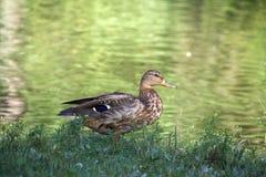 由湖的一只野鸭 库存照片