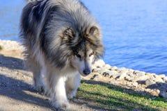 由湖的一只阿拉斯加的爱斯基摩狗 图库摄影
