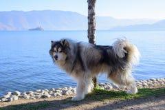 由湖的一只阿拉斯加的爱斯基摩狗 免版税库存图片