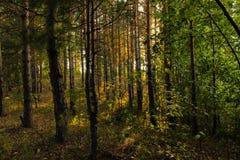 由湖的俄国杉木森林 免版税库存照片