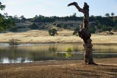 由湖的古老树 库存图片