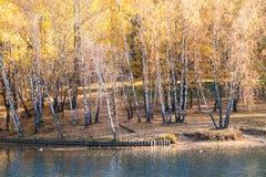 由湖的桦树树丛在秋天 免版税库存图片
