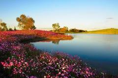 由湖的金鸡菊 库存照片