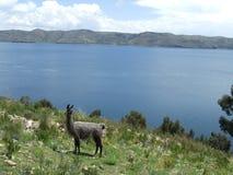 由湖的骆马 免版税库存图片