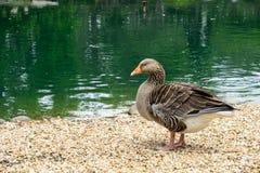 由湖的鸭子 库存照片