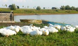 由湖的鹅鸭子 库存图片