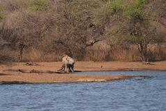 由湖的黑犀牛 免版税库存照片