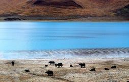 由湖边的牦牛 免版税库存照片