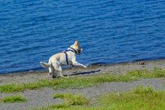 由湖边的狗赛跑 免版税库存照片
