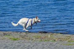 由湖边的狗赛跑 图库摄影