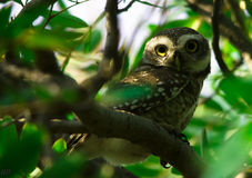 由猫头鹰的360度神色 免版税图库摄影