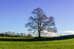 由石块墙的一棵孤立冬天树 免版税图库摄影