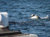 由码头的脊美鲸 免版税库存图片