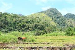 由米padi领域的两头母牛 免版税库存照片