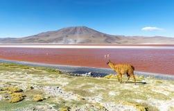 由红色盐水湖科罗拉达湖,玻利维亚的骆马 免版税库存图片