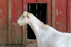 由红色谷仓的山羊 免版税库存图片