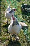 由绿色篱芭的两只母鸡 库存图片