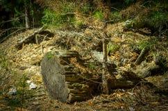 由老树桩的一根杉树树苗点燃了与明亮的太阳 免版税图库摄影