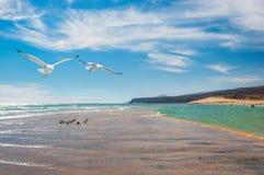 由肋前缘Calma岸的海鸥在费埃特文图拉岛, 库存照片