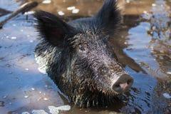 由脖子决定的狂放的肉猪在美洲红树沼泽 库存图片