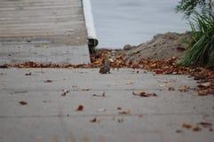 由船坞的花栗鼠 免版税库存图片