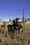 由范围的三只nubian山羊。 免版税库存图片