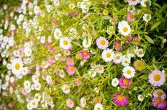 由草和雏菊花做的背景 库存照片