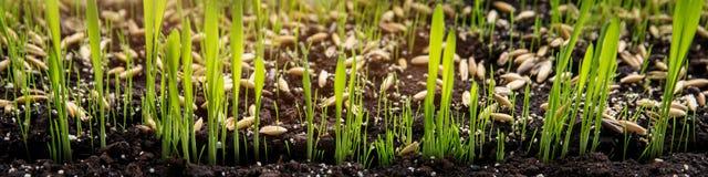由莎草属zumula种子或猫草的传播在土壤 图库摄影
