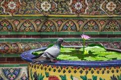 由莲花水池的鸽子,曼谷玉佛寺,曼谷,泰国 免版税库存图片