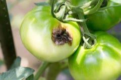 由虫咬的损坏的腐烂的绿色蕃茄在农场 免版税库存照片