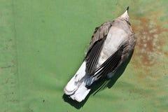 由被对待的种子的被毒害的鸽子 免版税库存照片