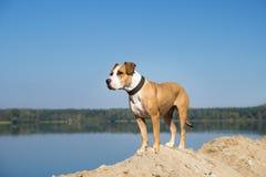 由调查距离的湖的狗 免版税库存照片