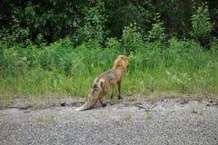 由路的一只狐狸本质上 库存照片