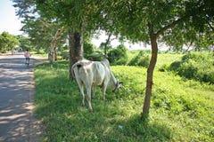由路的母牛 库存照片