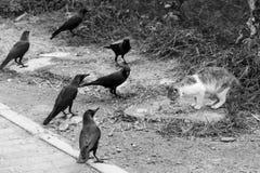 由路边的一只猫吃 在猫附近的乌鸦掠夺 免版税库存照片