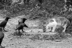 由路边的一只猫吃 在猫附近的乌鸦掠夺 免版税库存图片