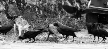 由路边的一只猫吃 在猫附近的乌鸦掠夺 库存照片