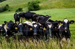 由铁丝网篱芭的奶牛 库存图片