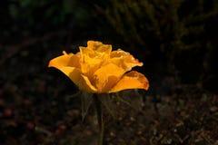由阳光击中的美丽的黄色玫瑰 库存照片