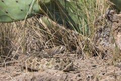 由仙人掌的西部菱纹背响尾蛇响尾蛇 库存图片