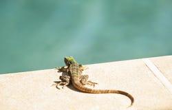 由水池的年轻鬣鳞蜥休息 库存图片