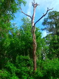 由锻炼足迹的一棵死的树在瓦尔登湖湖 库存照片
