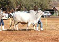 由经理照片的白色婆罗门公牛主角 库存图片