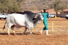 由经理照片的白色婆罗门公牛主角 免版税库存照片