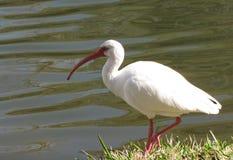 由水的白色朱鹭 库存图片