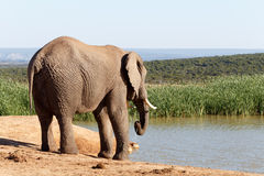 由水的非洲人布什大象 免版税库存图片