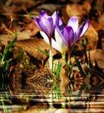 由水的紫色和白色番红花vernus。 免版税库存照片